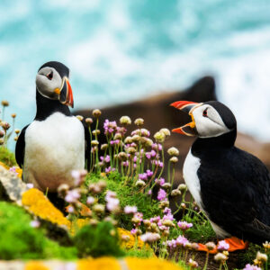 puffins-on-skellig-michael